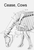 Cow_anatomy_musculatureCropWhiteSpace